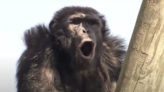 Download Chimp Politics - Chimp TV - BBC Video