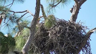 Download SWFL Eagles CROW Removes Precious E14 H & M Protect Their Area From Intruder 01-15-20 Video