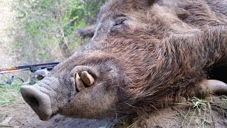 Download War Pigs - California Public Land Bow Hunting For Wild Pigs Video