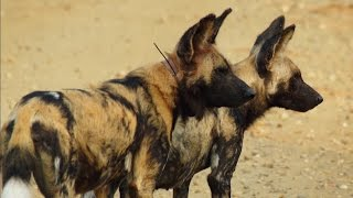 Download Loving Wild Dogs Hunt Together | Animals In Love | BBC Earth Video