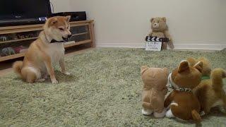 Download 柴犬だいふく VS 動く柴犬おもちゃ〜強い子どっち!?〜 [Shibainu Daifuku plays wiz dog's toy ] Video