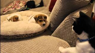 Download Cat meeting the puppies for the first time. Video