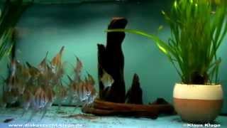 Download Orinoco Altum Skalare von Diskuszucht Kluge Video