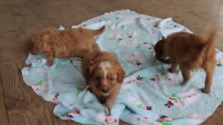 Download Cavapoo Puppies For Sale Video