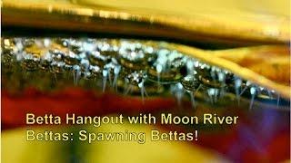 Download Betta Hangout with Moon River Bettas: Spawning Bettas Video