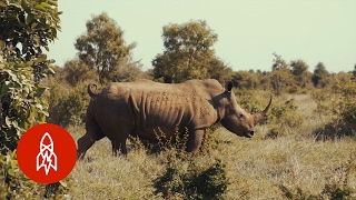 Download Protecting Africa's Last Rhinos from Poaching Video