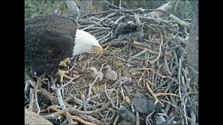 Download Big Bear Eagle Cam ~ Mom ~ Please Get This Stick Off Me! 2.16.18 Video