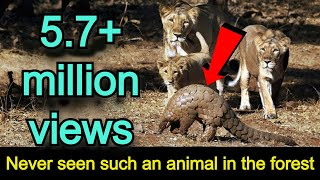 Download WATCH ASIATIC LION V/S INDIAN PANGOLIN UNBELIEVABLE FIGHTING ! After what happened? Video
