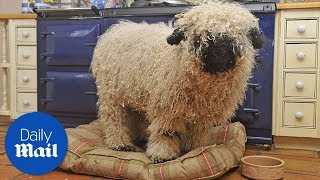 Download Sheep thinks he is a dog after growing up with one - Daily Mail Video