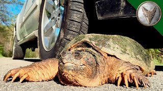 Download STOP! Save this Turtle? Video