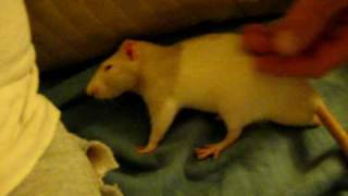 Download Mikey very Affectionate rat Video