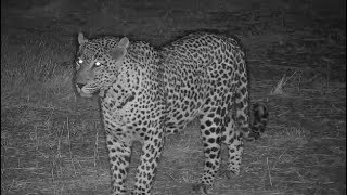 Download Djuma: Leopard-Tingana male shows up not long after Thandi female leaves - 17:53 - 07/16/19 Video