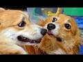 Download Roku meets Len / ロクさんの兄弟レン君 20170218 1 dog コーギー 犬 brother Video