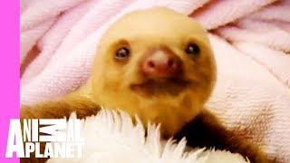 Download Baby Sloths Get Swaddled | Too Cute Video