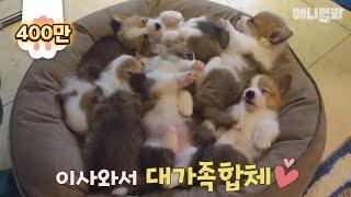 Download 뭐든지 떼거지로 몰려다니며 하는 웰시코기 8군단! 무궁화 꽃이 피었습니다~ Video