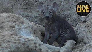 Download safariLIVES Episode 19 Video