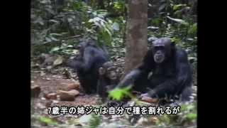 Download [日本語字幕版] Jokro: the Death of an Infant Chimpanzee -Japanese Subtitle Version Video