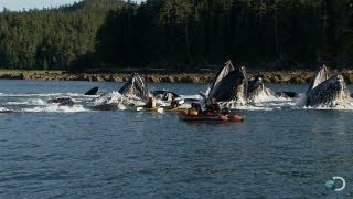 Download Humpback Whales Startle Kayakers | North America Video