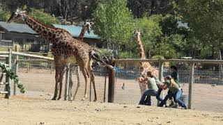 Download Baby Giraffe Birth at Safari West Video