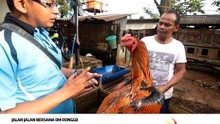 Download Trisakti Training Farm - Ayam Jago Bangkok Video