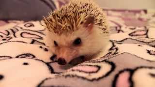 Download How to Pick Up and Hold a Hedgehog Video
