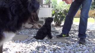 Download Aussie Doodle Puppy Training Video