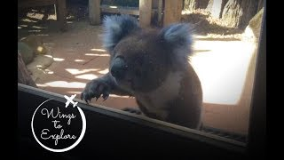 Download Koala knocking on my window - Australia Video