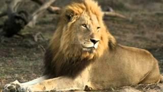 Download Mapogo Lions (test) Video