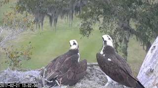 Download Up Close and Personal With a Pair of Ospreys – Feb. 21, 2017 Video