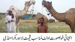 Download Camel Mandi - Camel For Qurbani 2018 Lahore Mandi Video