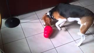 Download Démonstration du jouet pour chiens Kong Video