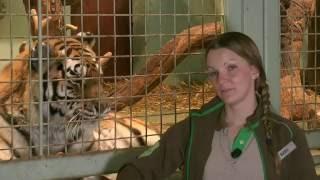 Download Kolmården Play - Att jobba nära tigrar Video