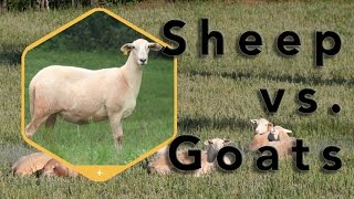 Download Homesteading Considerations: Sheep or goats? Video