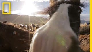 Download Untamed Horses in Iceland's Mountains | National Geographic Video