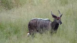 Download Djuma: Nyalas with Geese and Blacksmith Lapwings also - 13:11 - 03/24/19 Video