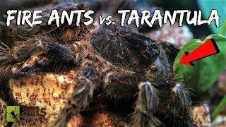 Download Fire Ants vs. Bird-Eater Tarantula Video