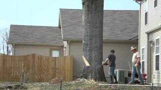 Download A 80 foot Oak tree felled by Ben and freinds 176 years old. Video