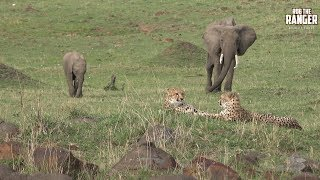 Download Cheetah Sisters With Elephants | Epic Kenya (Introduced By The Kindred Souls) Video