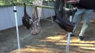 Download Juvenile bat thinks about flying Video