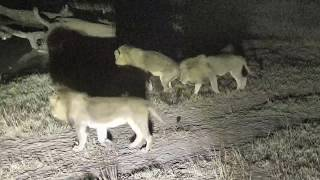 Download Djuma: Three Avoca male lions quietly walk by - 01:27 - 07/16/18 Video