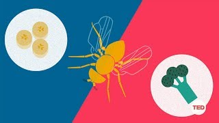 Download How you can make a fruit fly eat veggies | DIY Neuroscience, a TED series Video