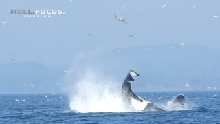 Download Transient orca punts a seal 80 feet into the air near Victoria, BC! Video