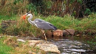Download Heron caught in the Act eating fish from garden pond Video