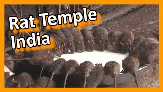 Download India - Bikaner Karni Mata rat temple Video