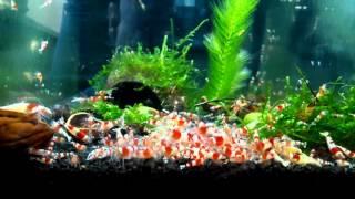 Download #22 Crystal Red Shrimp Tank. DiY TEST by BGD SHRIMPS Video