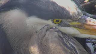Download Great Blue Heron's Nest Cam 04-22-2018 05:40:46 - 06:40:47 Video
