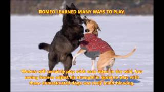 Download Story of a Wolf Named Romeo (True Story) Video