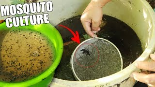 Download HOW TO CULTURE MASSIVE MOSQUITO LARVAE Video