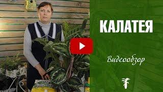 Download Калатея 🌿 Уход в домашних условиях Video