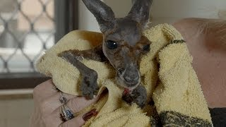 Download Baby Kangaroo has a bath in the kitchen sink - Kangaroo Dundee: Episode 5 Preview - BBC Two Video